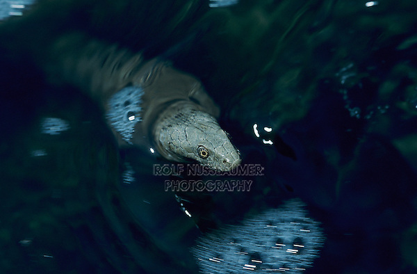 Dice Snake, Natrix tesselata, adult swimming in river, Scrivia River, Italy, May 1997