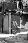 China, Shanghai.  The Shanghainese love their little white dogs, and also their laundry.  All dogs have to be licensed, which costs 2000 RMB annually in the centre of Shanghai and 1000 RMB in the suburbs.  Insurance is also necessary.