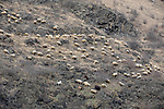 Sheep, Lori Province