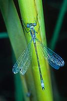 Glänzende Binsenjungfer, Lestes dryas, emerald spreadwing, scarce emerald damselfly, turlough spreadwing, le Leste dryade, Leste des bois