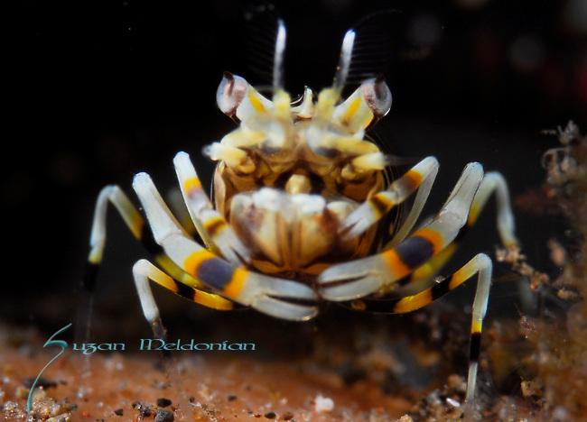 Striped bumblebee shrimp, Gnathophyllum americanum, Underwater macro marine life images;  Photographed in Tulamben; Liberty Resort; Indonesia.Underwater Macro Photographer on FB 2nd Annual event