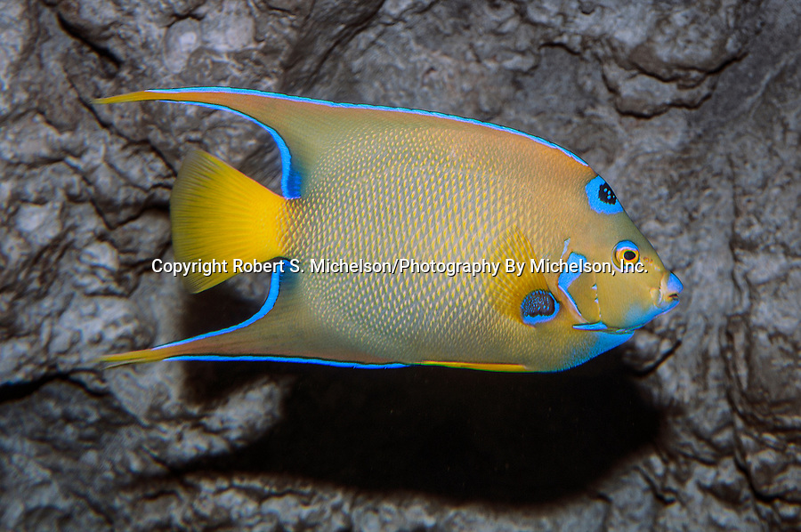 queen angelfish swimming to right