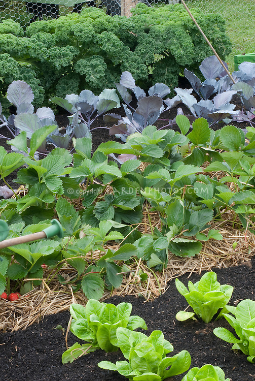 Strawberries, lettuces, red cabbage, kale 'Dwarf Green Curled' in vegetable & fruit garden with straw mulch, irrigation hose for watering