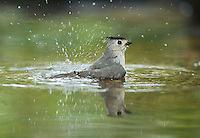 Black-crested Titmouse (Baeolophus bicolor), adult bathing, Hill Country, Texas, USA