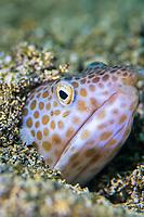 Buffoon snake eel, Ophichthus erabo, Futo, Sagami bay, Izu peninsula, Shizuoka, Japan, Pacific Ocean