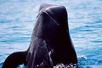 short-finned pilot whale, Globicephala macrorhynchus, spyhop Kona Coast, Big Island, Hawaii, USA, Pacific Ocean Ocean