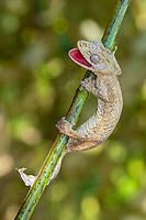 Gunter's flat-tail gecko (Uroplatus guentheri) on branch near Antsohihy, western Madagascar, Madagascar, Africa