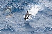 Hourglass Dolphin, Lagenorhynchus cruciger, porpoising, Drake Passage, Southern Ocean