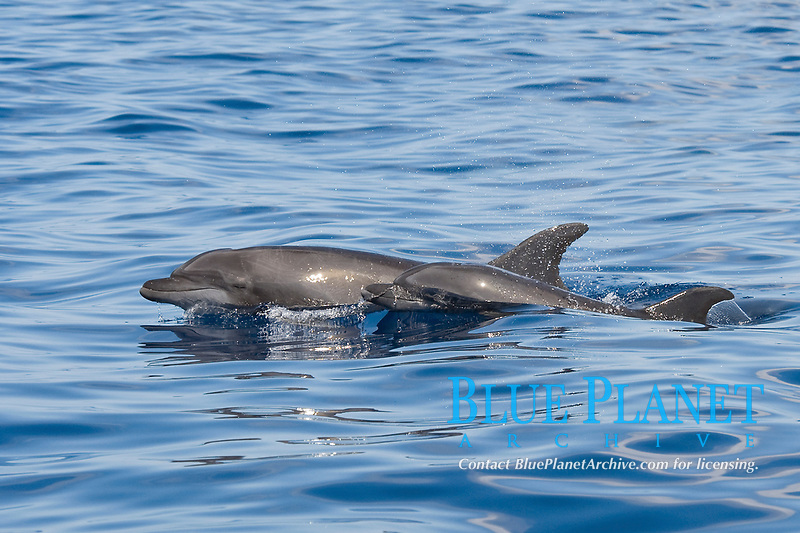 Common Bottlenose Dolphins, Tursiops truncatus, surfacing together, Costa Rica, Pacific Ocean