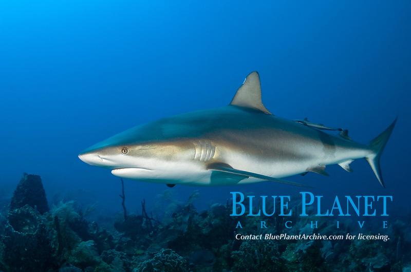 Caribbean Reef Sharks buzz past divers in curiosity, Cara a Cara, Roatan, Bay Islands, Honduras, Caribbean Sea.