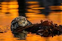 Southern sea otter, Enhydra lutris nereis, resting in kelp, female, reflection, sunset, dusk, Monterey, California, USA, pacific ocean, national marine sanctuary, endangered species