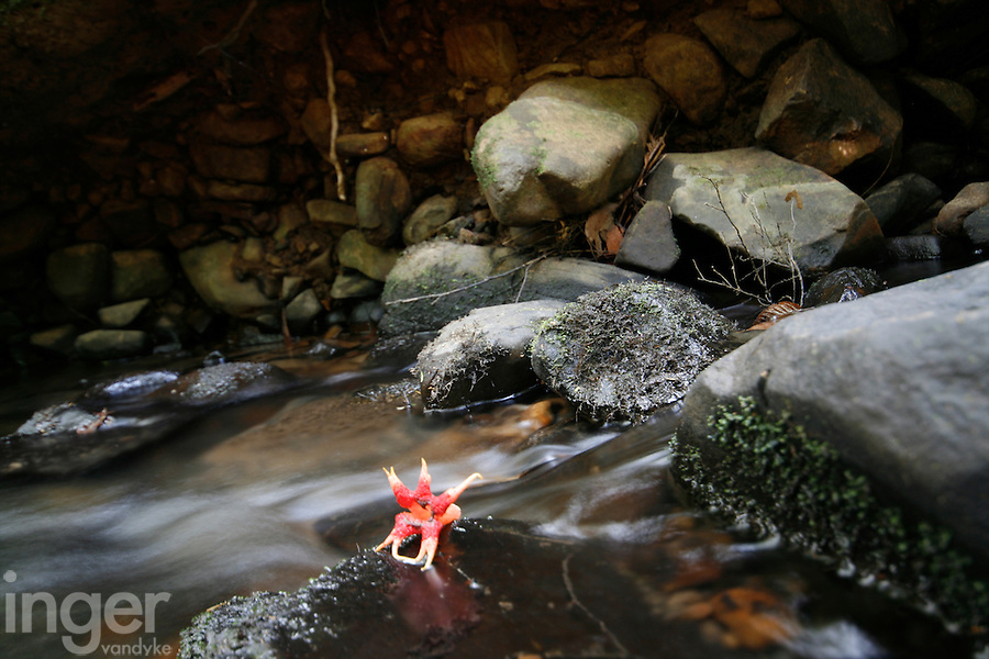 Star fungus in a stream on Bruny Island, Tasmania