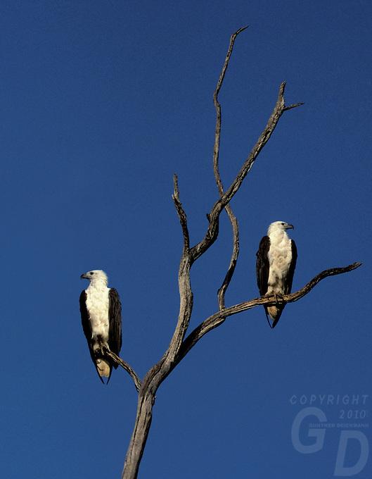 Two male and female  majestic Australian Seaeagles, in Kakadu National Park