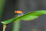 Costa Rican Frogs