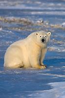 Polar bear, Barter Island, Arctic National Wildlife Refuge, Alaska