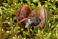 Gefleckte-Schnirkelschnecke, Gefleckte Schnirkelschnecke, Gefleckte Bänderschnecke, Baumschnecke, Paarung, Kopula, Kopulation, wechselseitige Befruchtung durch die Zwitter, Schnirkel-Schnecke, Arianta arbustorum, orchard snail, copse snail, copulation, pairing