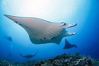 reef manta ray, Manta alfredi, Manta Reef dive site, Kadavu, Fiji, South Pacific Ocean