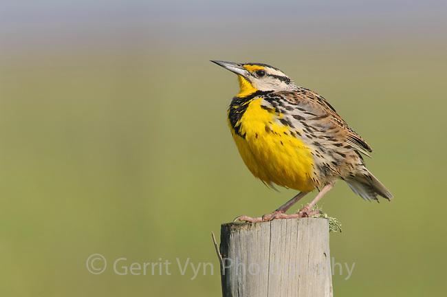 Adult male Eastern Meadowlark (Sturnella magna). Anahuac NWR, Texas. March.