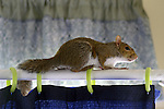 Mac, the squirrel, like high places, like curtain rods.