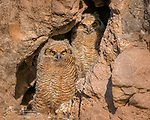 The Watchers. If it weren't for their eyes, these young great horned owls would be nearly impossible to spot against the surrounding rock wall.  Thus camouflaged in a small cave right above Lake Pleasant, they were awaiting the return of a parent bringing breakfast, and meanwhile entertaining themselves by watching a pair of strange human creatures in the lake below. They were nearly ready to fledge; I was told that they had left the nest just a few days later.<br /> <br /> Image ©2021 James D. Peterson