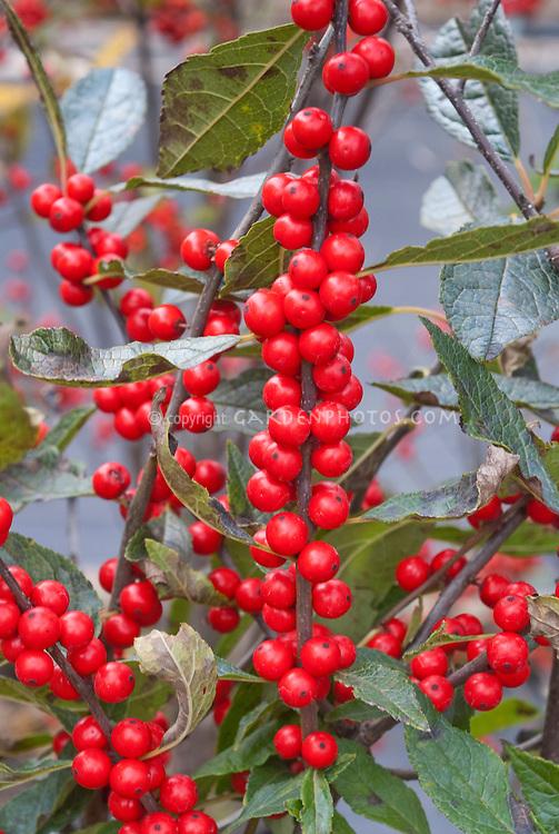Ilex verticillata 'Winter Red' berries holly