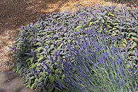 Lavandula lavender herb in gravel in bloom with Salvia officinalis culinary sage herb garden plants