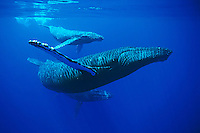 Mother, calf and escort humpback whales, Megaptera novaeangliae, Hawai'i.