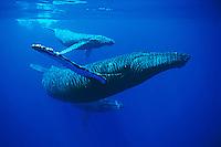 Mother, calf and escort humpback whales, Megaptera novaeangliae, Hawai'i.