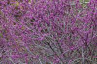 Western Redbud, Cercis occidentalis, small tree in drought tolerant California native plant garden