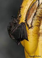 0211-08uu  Seba's Short-tailed Bat Feeding on Banana, Carollia perspicillata © David Kuhn/Dwight Kuhn Photography