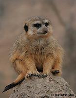0214-08tt  Meerkat on Lookout, Suricata suricatta © David Kuhn/Dwight Kuhn Photography