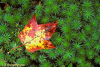 AU13-027z  Fallen leaf on moss, autumn