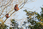 Colombian Red Howler Monkey (Alouatta seniculus) in trees overhanging the Ariporo River. Hato La Aurora Reserve, Los Llanos, Colombia.