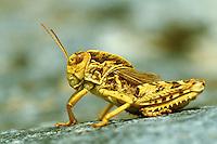 Gesägte Steinschrecke, Crau-Schrecke, Prionotropis hystrix, European Giant Steppe Grasshopper, Crau Plain Grasshopper