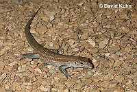 0615-1002  Tiger Whiptail Lizard, Aspidoscelis tigris  © David Kuhn/Dwight Kuhn Photography