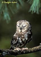 OW02-081z  Saw-whet owl - resting on branch - Aegolius acadicus