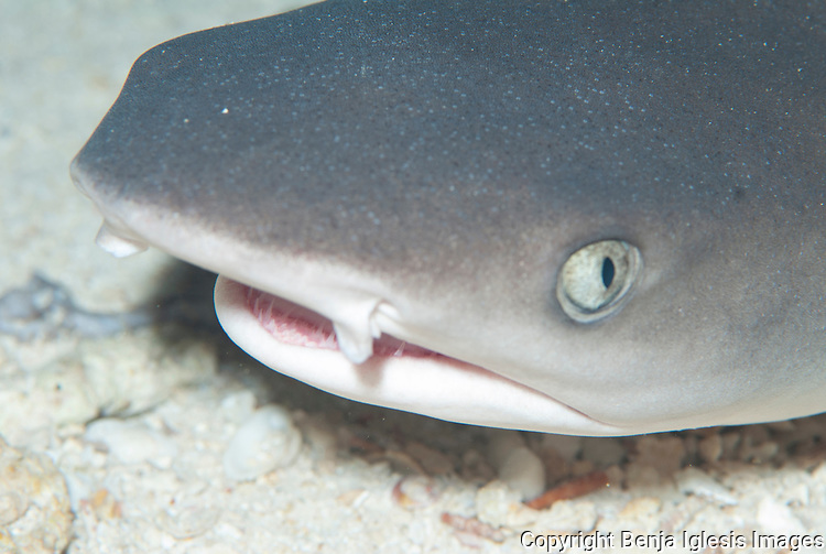 Macro image of a white tip reef shark, (Triaendon Obesus) one of the few species of shrks that can lay on the bottom to rest.