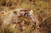Maasai Mara Game Reserve, Kenya. Female lion (Panthera leo) with two cubs lying down washing one cub.