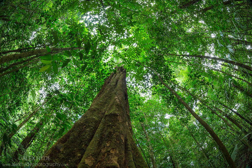 Looking up at rainforest canopy, Osa Peninsula, Costa Rica. May.
