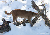 0218-1010  Mountain Lion (Cougar) in Snow, Puma concolor (syn. Felis concolor)  © David Kuhn/Dwight Kuhn Photography.