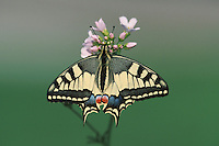Old World Swallowtail (Papilio machaon), adult on flower, Switzerland
