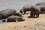 African Hippopotamuses(Hippopotamus amphibius) on the Masai Mara National Reserve safari in southwestern Kenya.