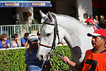 Tapitsfly being lead in the walking ring for the Honey Fox Stakes(G2T) at Gulfstream Park. Hallandale Beach, Florida. 03-18-2012