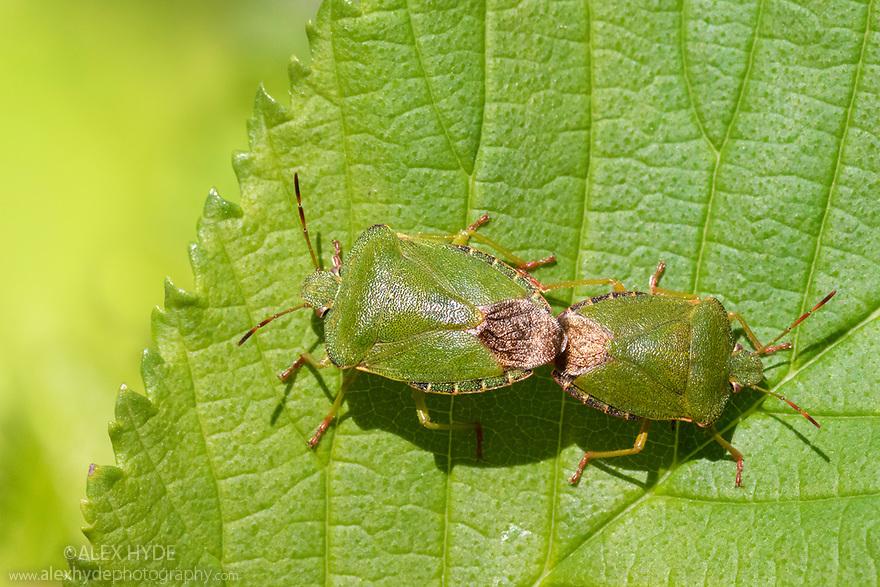 Green Shieldbug {Palomena prasina} mating pair on Wych Elm (Ulmus glabra). Lathkill Dale NNR, Peak District National Park, Derbyshire, UK. May.