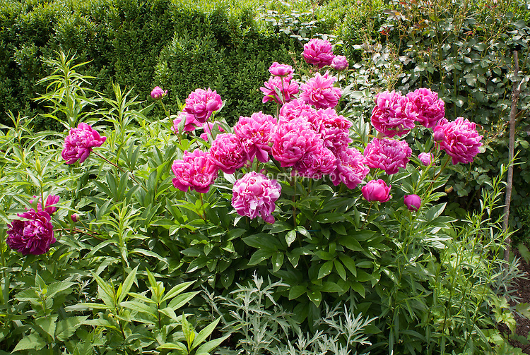 Paeonia peonies pink flowers, Paeonia lactiflora herbaceous perennial fragrant scented blooms
