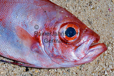 Seychelles, Island Mahe: dead fish on the beach - red snapper  (Lutjanus campechanus)