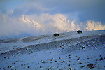 Bison feed on forage exposed by the winter winds on ridges below the Tetons on the National Elk Refuge, Wyoming.