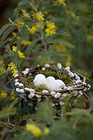 Detail of eggs in a nest made from pussy willow stems in the branches of a flowering mimosa