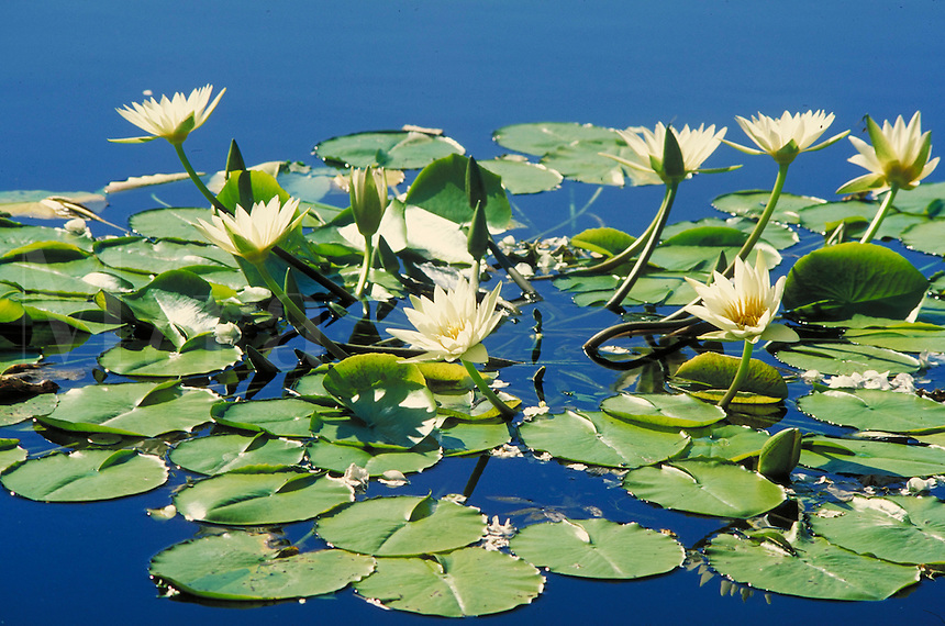 water lilies flowering in water. botany, petals, symmetry, plant, plants, lily pad. California.