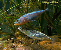 1S53-514z  Threespine Stickleback, male showing gravid female the entrance to his nest, Marine form, Gasterosteus aculeatus